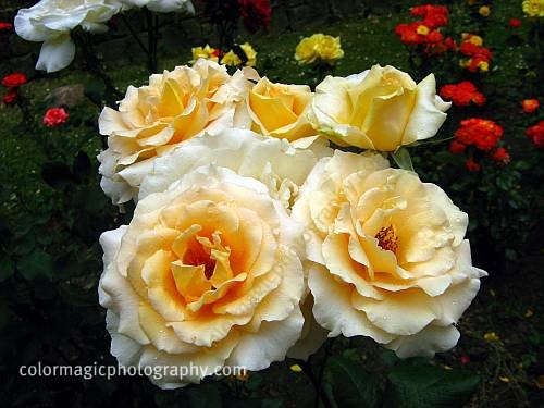 Golden roses-old garden roses