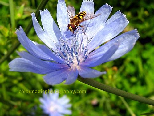 Bee on chicory flower-macro