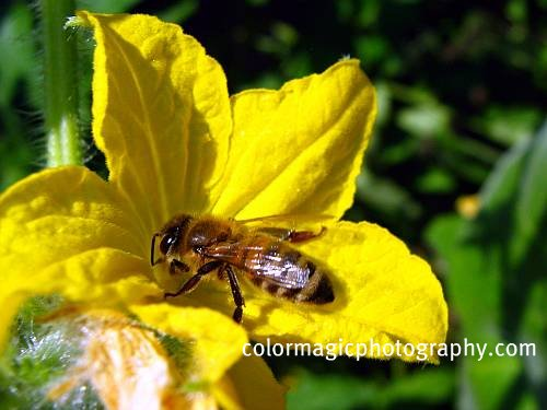 Bee on cucumber flower