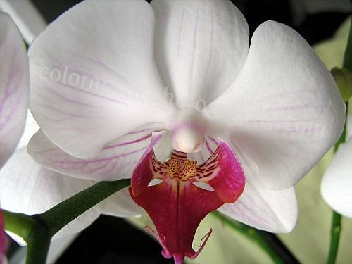 White orchid-Phalaenopsis-macro