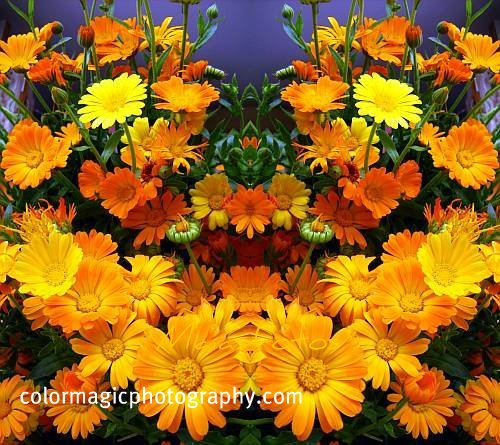 Calendula flowers-Pot Marigold