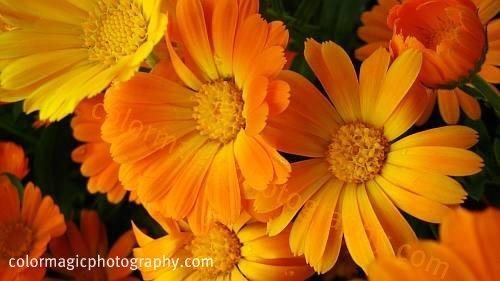 Calendula officinalis - Pot Marigold