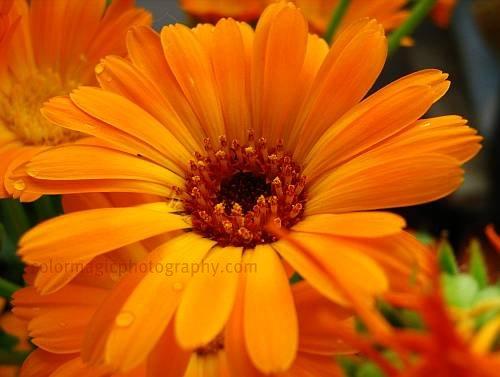 Pot Marigold macro