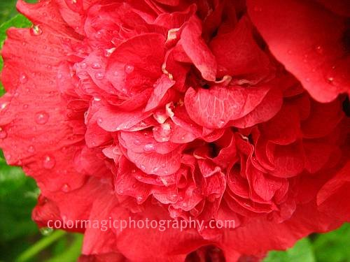 double petaled hollyhock