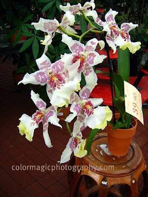 Beallara-Orchid Cambria