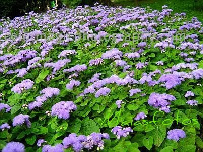 Ageratum flower bed