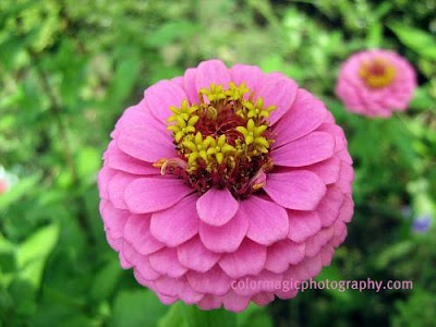 Zinnia elegans-close up