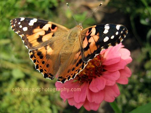 Painted Lady Butterfly on Pink Zinnia-macro