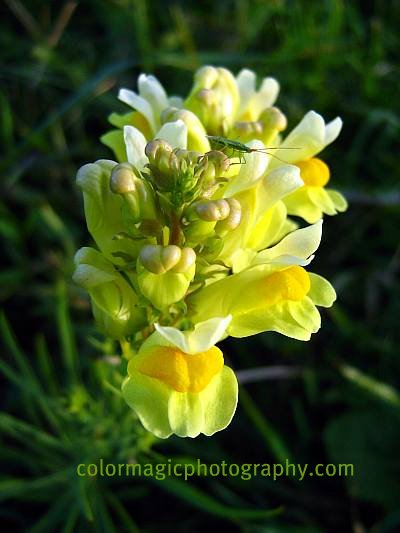 Yellow flower macro-Linaria vulgaris