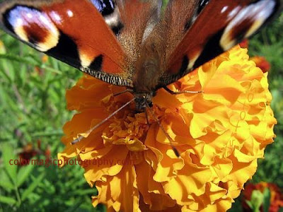 Peacock butterfly on a bright marigold