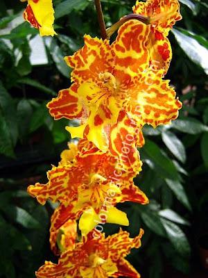 Tiger orchid-Odontocidium Tiger Hambuhren