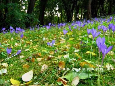 Autumn crocus field