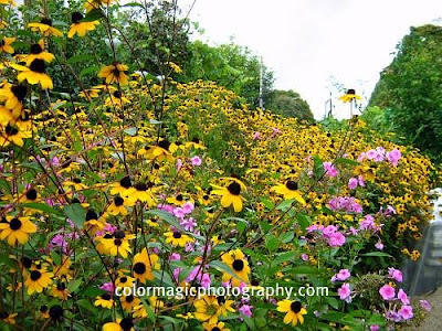 Rudbeckia and pink Phlox