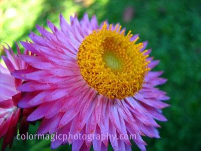Purple Helichrysum-Strawflower macro