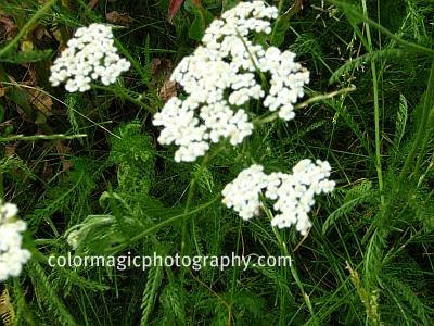 Yarrow plant and flower