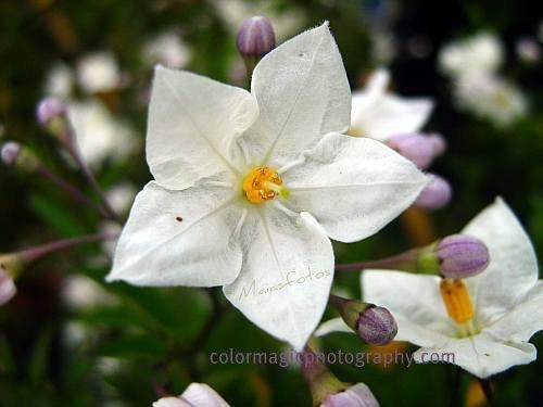 Solanum Jasminoides-Potato vine