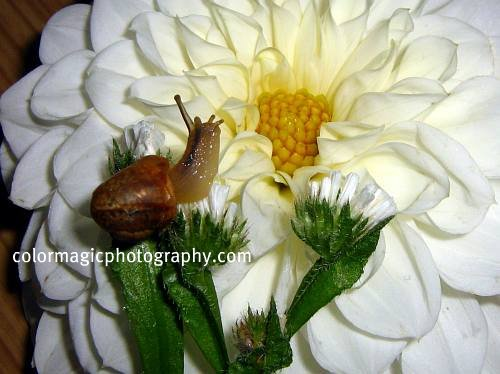 White Dahlia and garden snail
