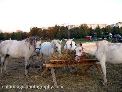 Horses-dinner time