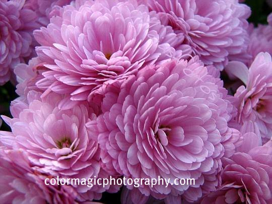 Pink chrysanthemums-Day of the Dead