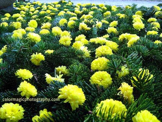Yellow chrysanthemums covering a grave