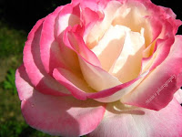 Pink-cream rose-macro