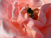 Bee on rose petals-macro