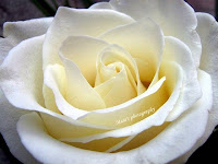 White rose head