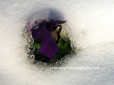 Violet pansies under the snow