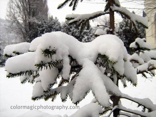 Snow on fir tree