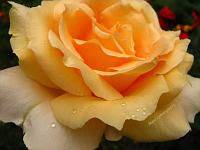 Gallery of beautiful roses, rose macros
