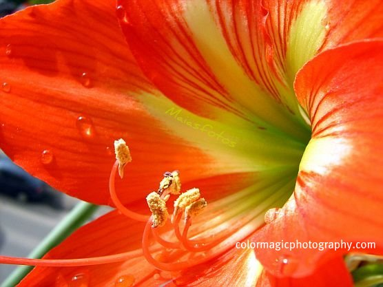 Red Amaryllis flower-macro