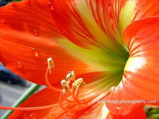Red Amaryllis flower-macro