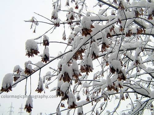 Maple tree seeds in winter