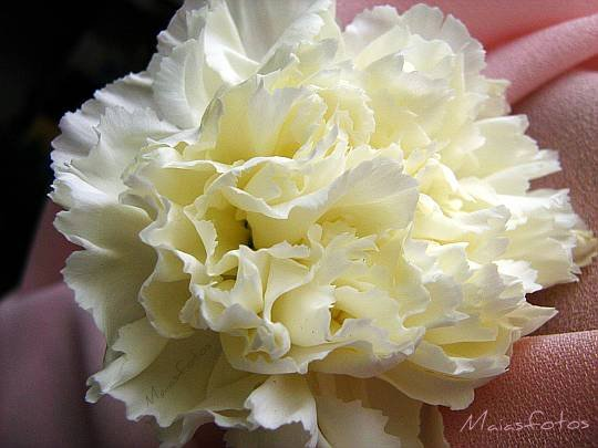 White carnation flower-macro photography