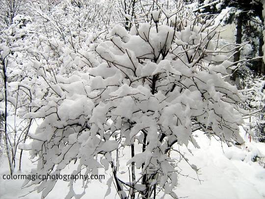 Snow covered bush in the winter landscape