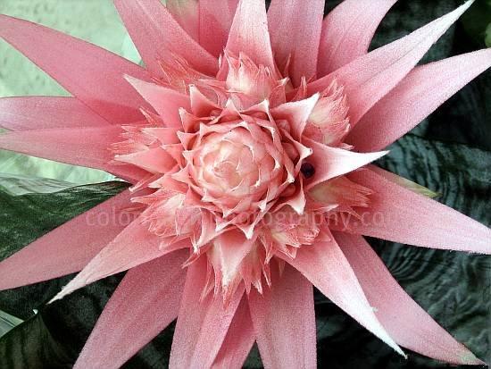 Pink bromeliad flower gallery flower decoration ideas pink bromeliad flower choice image flower decoration ideas pink bromeliad flower gallery flower decoration ideas pink mightylinksfo