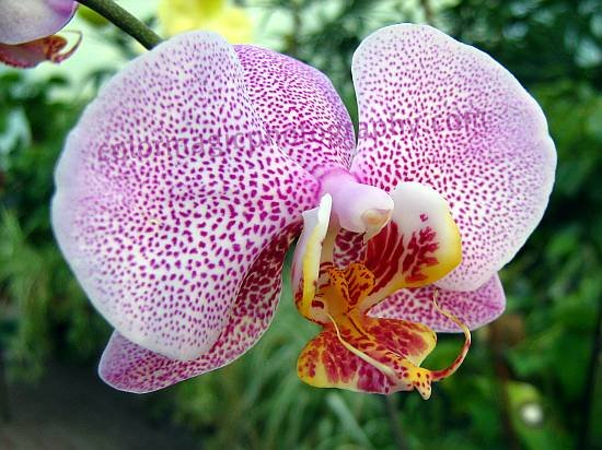 White-purple spotted Phalaenopsis orchid macro photo