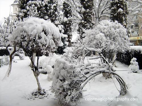 Bush bending under the snow