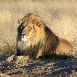 [lõvi]
