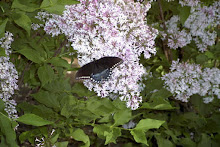 Butterfly on the Lilacs