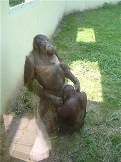 mono con pene