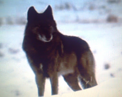 фото канадский волк