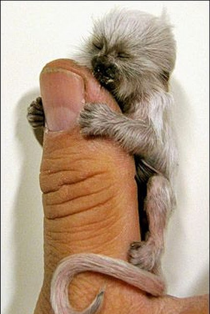 Tiniest Living Primates In World Finger - Finger Monkeys