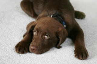 sweet little puppy dog carpet cleaning service dutch touch inc