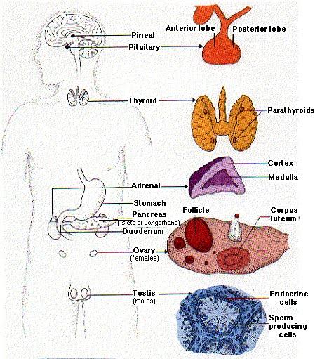 hormonios esteroides testosterona e estradiol