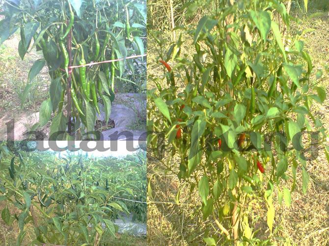 Chilli... Lada Hidup, Lada Thailand