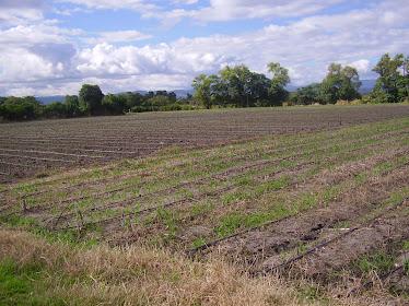 cultivo del cea maiz
