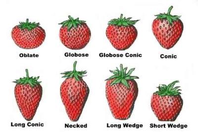 Brint Montgomery Blog Site: Strawberry Morphology