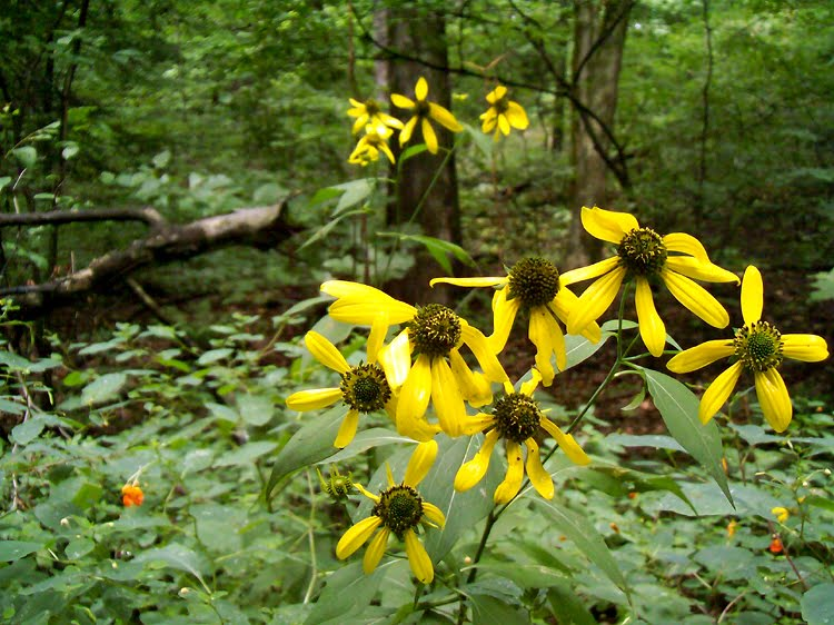 Coneflower - Hells Hollow - McConnells Mill
