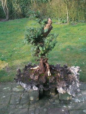 abana natureart bonsai gartenyamadori taxus bacchata. Black Bedroom Furniture Sets. Home Design Ideas